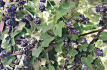 Pergolato uva fragola