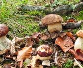 Cercare funghi alla domenica…